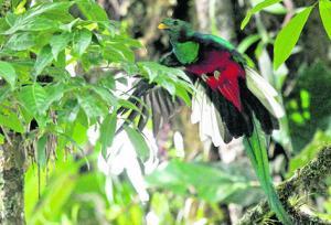 •El ave nacional es la más grande de la familia de los trogones.