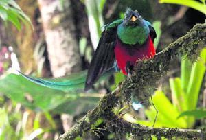 En febrero y marzo los quetzales machos hacen vuelos para mostrar sus plumas y ganar los mejores palos para formar sus nidos