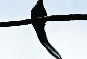 •La emoción es intensa durante los breves instantes en que se observa al ave símbolo nacional que muchos creen se ha extinguido