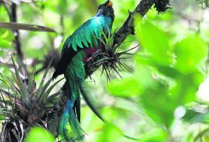 •El quetzal hembra se direrencia del macho porque carece de cresta, de plumas cobertoras –caudal-y tiene la cabeza más obscura y pico negro.